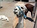 Shaved llama (160558138).jpg