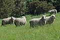 Sheep - Abbey Farm - geograph.org.uk - 431189.jpg