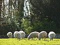 Sheep grazing Winchelsea - geograph.org.uk - 429287.jpg