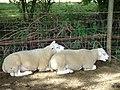 Sheep may safely doze, footpath near Bablock Hythe - geograph.org.uk - 302623.jpg