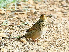 Short-tailed Pipit 2012 02 08 9427.jpg