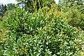 Sibiraea laevigata kz13.jpg