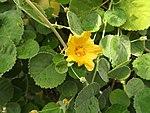 Sida fallax flower Ilima.JPG