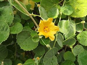 Sida fallax - Image: Sida fallax flower Ilima