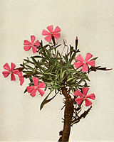 Silene caroliniana ssp pensylvanica WFNY-053.jpg