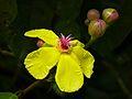Simpoh Air (Dillenia excelsa) flower (8068358715).jpg