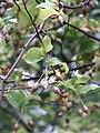 Sinojackia rehderiana feuilles fruits2.JPG