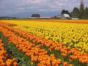 Skagit Valley - Tulips on a farm on the Skagit River delta