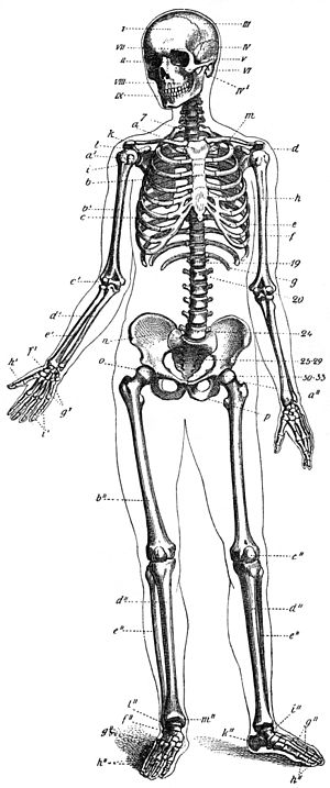 esquema do esqueleto humano