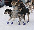 Sled dogs Montana.jpg