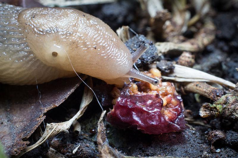 Slug feeding on fruit.jpg