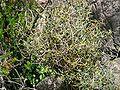 Smilax aspera ssp balearica.jpg