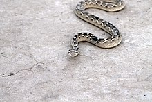 Ядовитая змея в Тарпаркаре