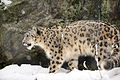 Snow Leopard Walking in the Snow (12033065055).jpg