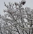 Snow on a tree in winter in NJ.JPG