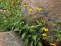 Soft arnica, Arnica mollis (15815742991).jpg