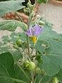 Solanum indicum at Queen Sirikit Botanic Garden - Chiang Mai 2013 2603.jpg