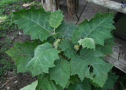Solanum sessiliflorum 1