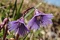 Soldanella alpina-5.jpg