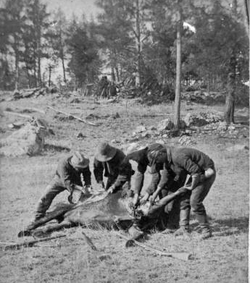 Soldiers cutting up abandoned horse