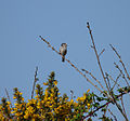 Solitary long-tailed tit - geograph.org.uk - 1263371.jpg