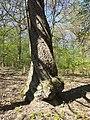 Sorbus torminalis sl28.jpg