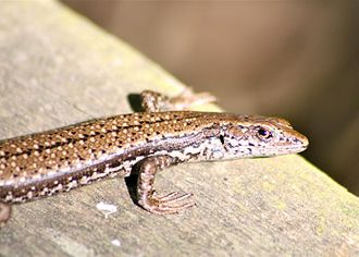 Southern grass skink - Image: Southern Grass Skink (Pseudemoia entrecasteauxii)
