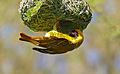 Southern Masked Weaver (Ploceus cucullatus) male on nest (16614825697).jpg