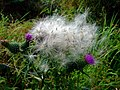 Spear thistle (Cirsium vulgare) - geograph.org.uk - 933350.jpg