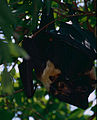 Spectacled Flying Foxes (Pteropus conspicillatus) (9741503465).jpg