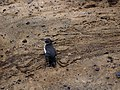 Spheniscus mendiculus -Galapagos -walking-8 (2).jpg