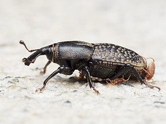 Sphenophorus - Sphenophorus cicatristriatus