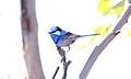Splendid Fairywren (Malurus splendens) (31379318155).jpg