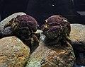 Sponge crabs, National Lobster Hatchery.jpg