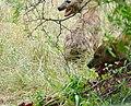 Spotted Hyenas (Crocuta crocuta) taking over a kudu carcass after lions departure ... (50133141891).jpg