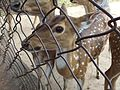 Spotted deer found in hilly areas of Andhra Pradesh,,India.jpg