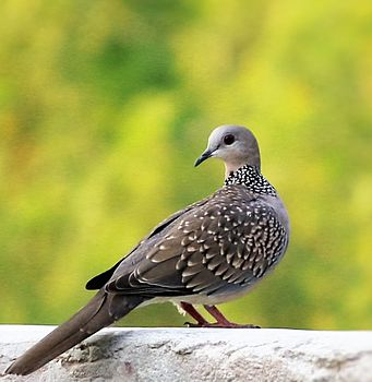 Spotted dove (SD).jpg