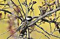 Spring Chickadee (8691532700).jpg