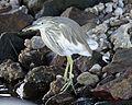 Squacco Heron (Ardeola ralloides) - Flickr - Lip Kee (2).jpg