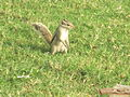 Squirrel at Agra Fort 1.jpg