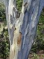 Starr-010330-0579-Pimenta dioica-bark-Rainbow Park Paia-Maui (24423789832).jpg