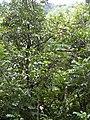 Starr-030807-0039-Syzygium malaccense-habit-Hana Hwy-Maui (24012071743).jpg