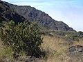 Starr-040813-0224-Anthoxanthum odoratum-trail-near Holua HNP-Maui (24348213559).jpg
