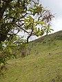Starr-060429-9464-Charpentiera obovata-panicles-Auwahi-Maui (24862548805).jpg