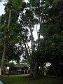 Starr-061105-9621-Cinnamomum camphora-habit-Makawao-Maui (24842002686).jpg