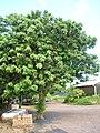 Starr-061108-9610-Litchi chinensis-habit-Hoolawa Farms-Maui (26482180287).jpg