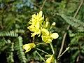 Starr-081031-0421-Brassica rapa var chinensis-flowers-Makawao-Maui (24833387641).jpg
