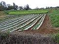 Starr-090426-6397-Fragaria x ananassa-crop-Kula-Maui (24325830723).jpg