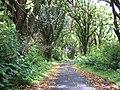 Starr-090623-1458-Mangifera indica-habit along road-Nahiku-Maui (24671093290).jpg