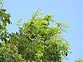 Starr-090806-4049-Pterocarpus indicus-leaves-Kahului-Maui (24676320030).jpg